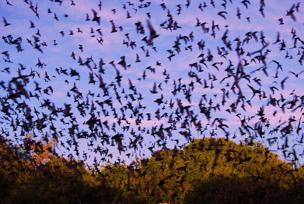 Permalink to:Informing Bat Conservation Management